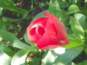 Natuurfotografie : Tulp in tuin. Nature Photography Tulip Holland in Garden