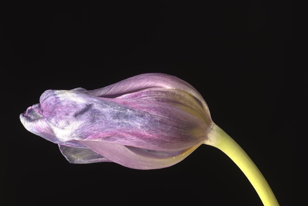 macrofotografie Dansende Tulp, Macrophotography Dancing Tulips