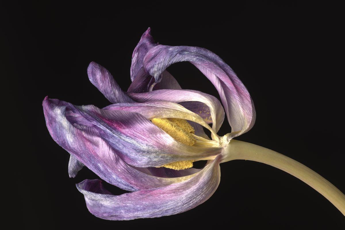 macrofotografie Dansende Tulp, Macrophotography Dancing Tulips. HJ jager